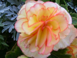 Begonia with trim
