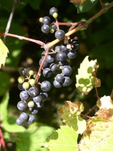 Purple wild grapes 2 edited