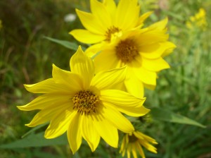 Yellow Woodland Sunflower